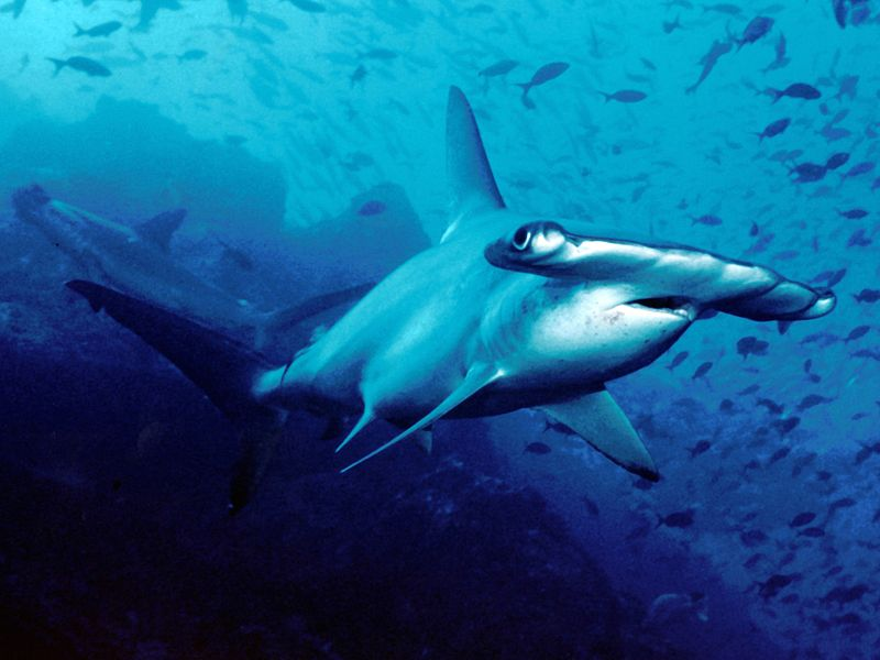 800px-Scalloped_hammerhead_cocos