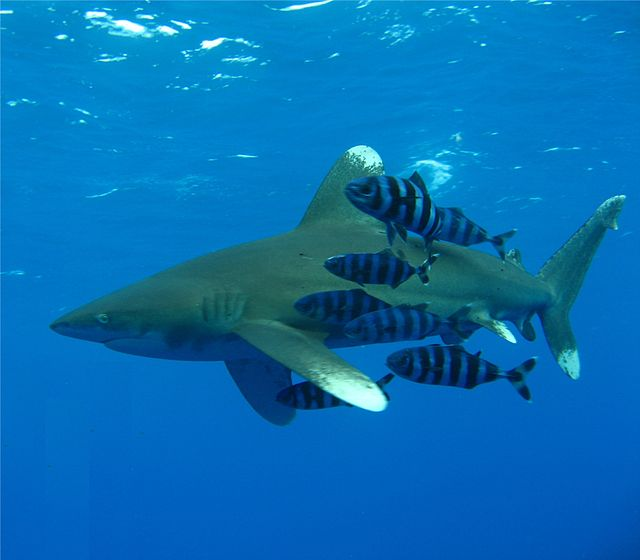 Oceanic_Whitetip_Shark